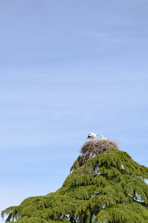 baby stork in the nest on top of pine tree