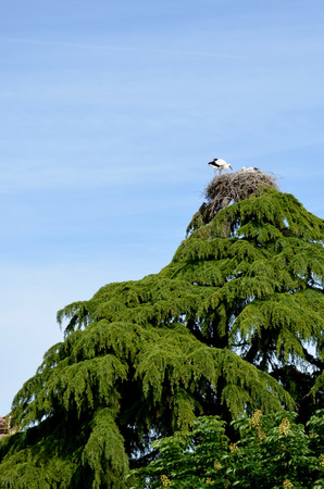 two baby storks in nest on top of  tree Stock Photo