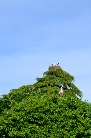 two storks nests on top of  tree Stock Photo