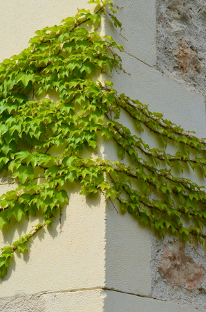 corner of wall with ivy Stock Photo