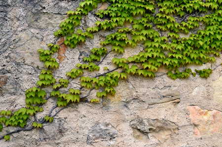stone wall cover with green ivy