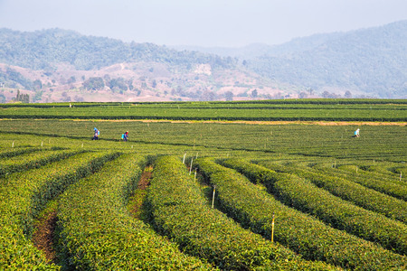 foothill: Tea plantation field on the foothill