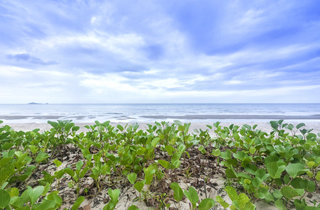 twining: Natural picture of Ipomoea. Plant that grow on the beach