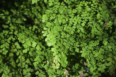plants species: primo piano di capelvenere, una delle piante pi� comuni specie di felce