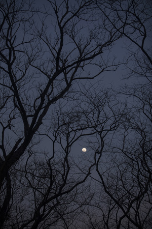 lurk: The silhouette of a leafless treeline in the night time. Stock Photo