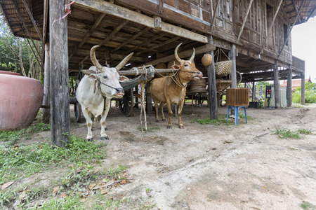 antiquity: cows and wagon showed the living of Thai antiquity Stock Photo