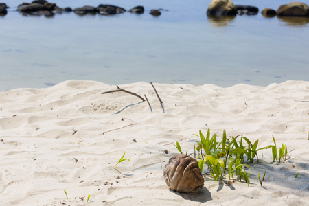 coconut seedlings: Growth of a coconut tree seedling by the beach Stock Photo