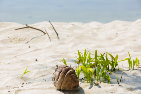 emergence: Growth of a coconut tree seedling by the beach Stock Photo