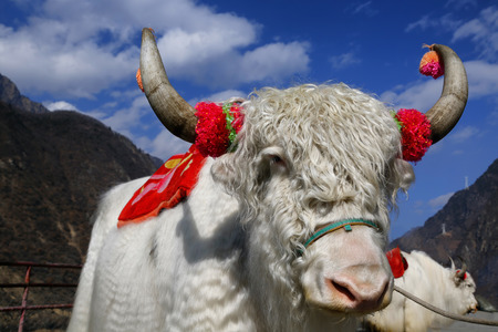 yak: The white yak with the red decoration pets in china