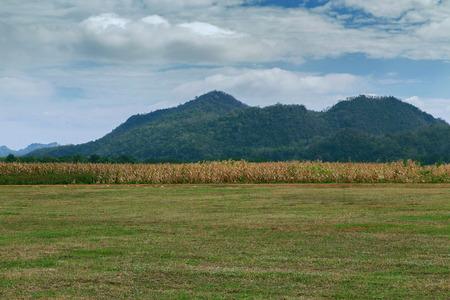 View panorama dried corn field