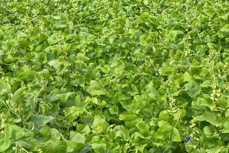 cultivated  Lablab purpureus