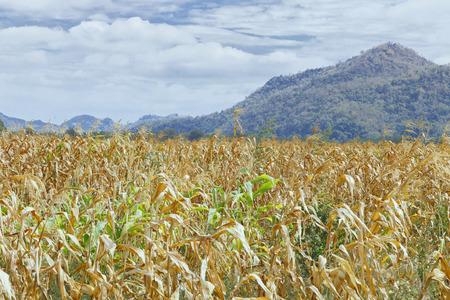 The Dried Corn Field - Fall Harvest