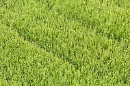 green leaves of rice seedlings in water