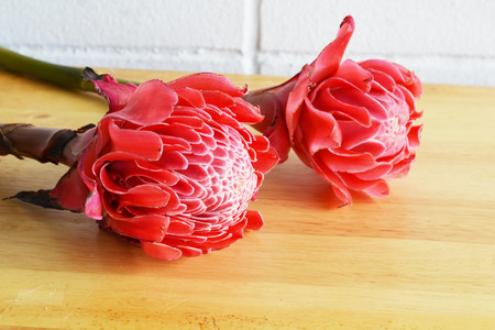 ginger flower plant: torch ginger