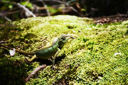 lizard in field: dargon  Foto de archivo