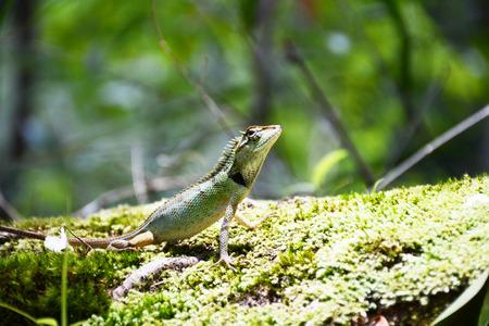 lizard in field: camaleón