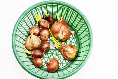 germinate: germinate shallots