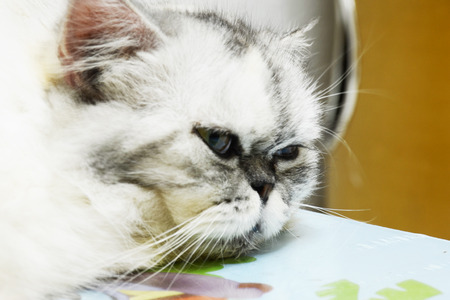 longhair: longhair cat
