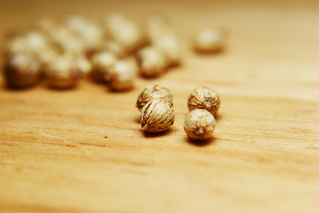 culantro: semilla de cilantro