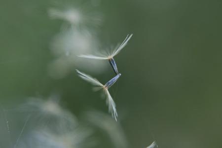 carpel: macro of flying carpel Stock Photo