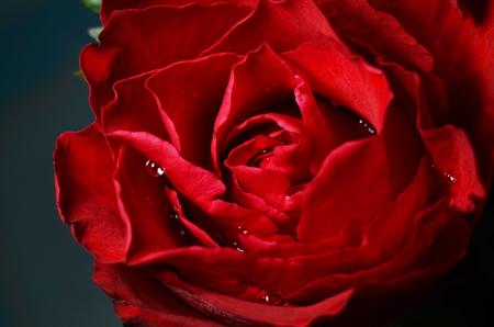 red Rose, rose closeup, Banque d'images