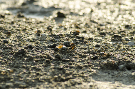 pincers: fiddler crab in mangrove forest