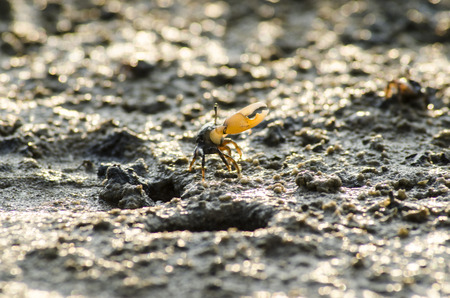 fiddler crab in mangrove forest