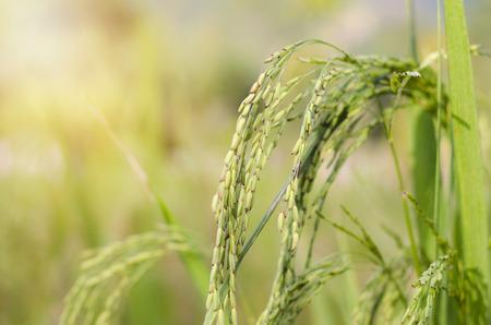 rice farming Stock Photo