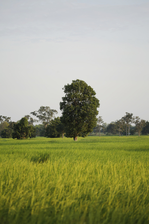 Rice farming bokeh background and fog with sunlight in the morning country side of Thailand Stock Photo