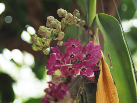 Orchid flower booming in garden sweet smell