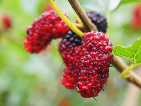 fresh red mulberry on season and healthy fruit