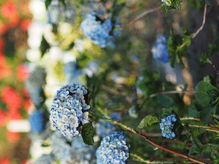 Freshness hydrengea flower blooming garden sweet background Standard-Bild - 138625661