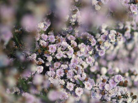 Margaret fram blooming on season for chiangmai holiday traveling to visit Standard-Bild - 138625679