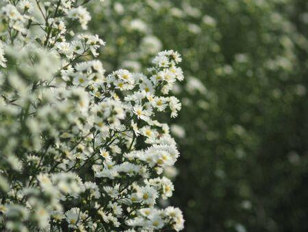 Margaret fram blooming on season for chiangmai holiday traveling to visit Standard-Bild - 138625670