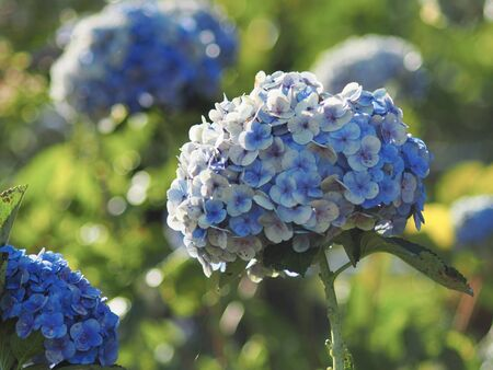 hydrangea garden and park bueaty side nature Standard-Bild - 138626603