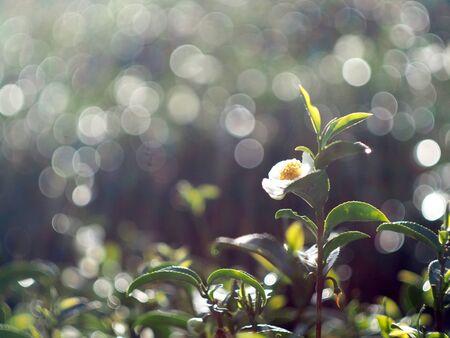 Fresh and oganic fram of tea leaf and young freash leaf in Chiangmai fram tea Standard-Bild - 138626684