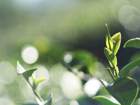 Fresh and oganic fram of tea leaf and young freash leaf in Chiangmai fram tea Standard-Bild - 138626649