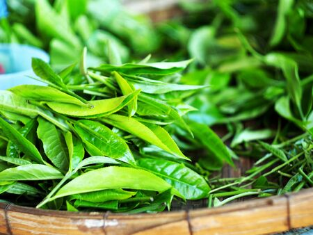 Fresh and oganic fram of tea leaf and young freash leaf in Chiangmai fram tea Standard-Bild - 138626687