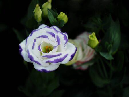 tulip garden blooming on season and filed fill full colorfull of flower Standard-Bild - 139942840