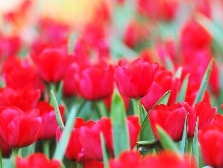tulip garden blooming on season and filed fill full colorfull of flower Standard-Bild - 139943084