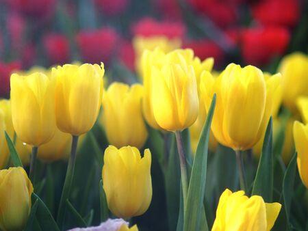tulip garden blooming on season and filed fill full colorfull of flower Standard-Bild - 139943459