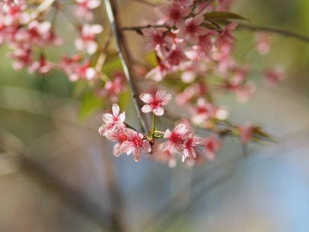 Sweet background pink blossom Thai Sakura flower in North of Thailand
