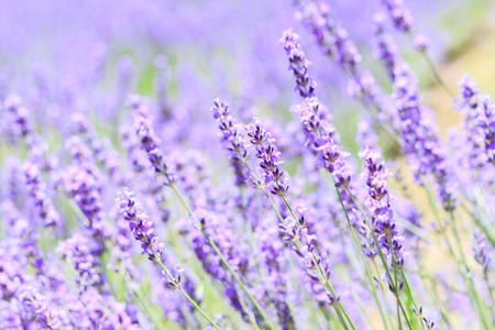 field flower: abstract lavender closeup in field on summer japan nature blurred background can fill text or promote travel soft focus Stock Photo