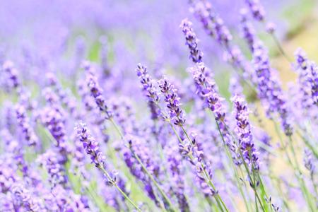 campo de flores: primer plano de lavanda resumen en campo en verano japón fondo borroso puede llenar de texto o promover los viajes enfoque suave