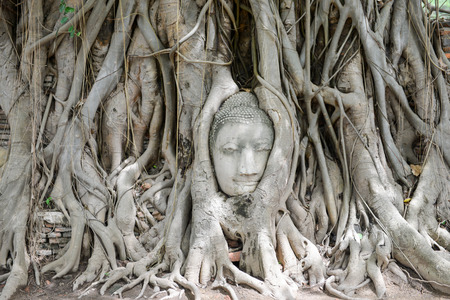 tree of knowledge: The Head of Buddha in the bodhi tree at Wat Mahathat, Ayutthaya, Thailand