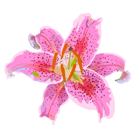 Pink lily on a white background, Element design  Ilustracja