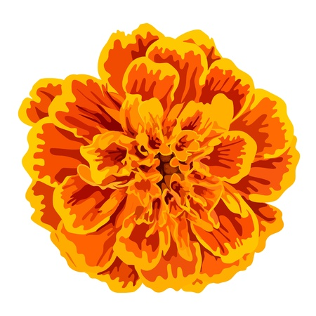 orange marigold flower isolated on white background