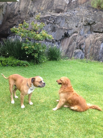 A golden retriever and an american bulldog staring at each other in front of a mountain