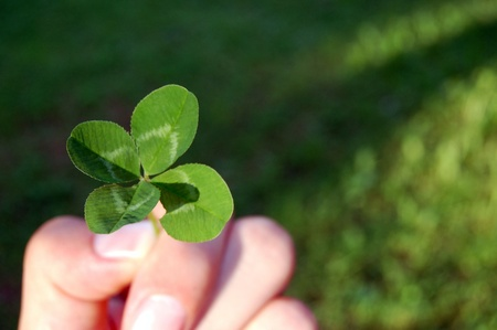 four leaf clovers: Lucky  Stock Photo