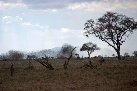 savana: kenia birds